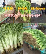 山东博兴芹菜基地提供香芹山芹图片