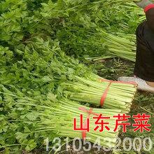 山东芹菜价格博兴5月份开始报价图片