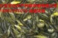 荊州荊州區雜交泥鰍苗什么價格可以買到