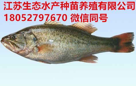 赣州崇义县杂交泥鳅苗哪里有卖的