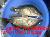 吉安青原區草魚苗多少錢一斤