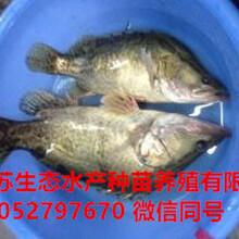 榆林榆阳区黄板泥鳅苗多少钱一尾图片