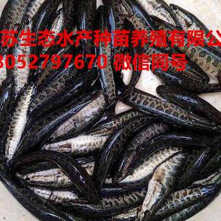 阿勒泰地区富蕴县黄板泥鳅苗多少钱一尾图片4