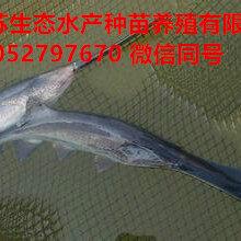 伊犁霍城县杂交鳖苗多少钱一斤图片