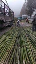 产地厂东森游戏主管直销各种4-8米大棚竹竿竹片竹杆批发图片