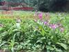 杭州华博同创大量批发济源市紫花三叉白芨种苗价格优惠