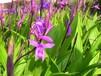 杭州華博同創大量批發新鄉市紫花三叉白芨種苗價格優惠