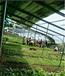 遼寧大連溫室甲魚養殖技術、圓拱塑料薄膜頂開窗溫室大棚