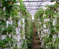 河北衡水无土栽培玻璃顶开温室大棚、有机蔬菜种植大棚