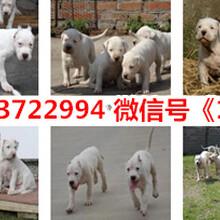 绥芬河德国牧羊犬价格图片