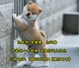 都江堰哪个地方有柴犬卖柴犬多少钱一只