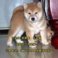 普洱市出售各种名犬图片