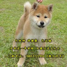 南芬区哪里有卖柴犬的柴犬出售图片