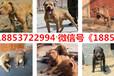巴彥淖爾出售各種名犬