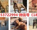 盐山县出售各种名犬