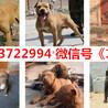陕西咸阳彬县出售各种名犬