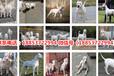 杜爾伯特蒙古族狗市場