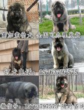 武威市賣狗的聯系方式可送貨圖片
