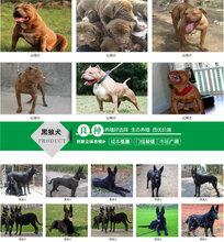 广汉狗场电话拉布拉多幼犬价格包运输图片