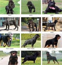 左權狗場位置黑狼幼犬價格保健康圖片