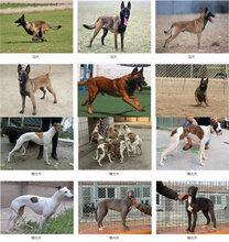 兰山泰迪幼犬价格养狗场保健康图片