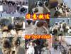 惠州惠陽區肉狗苗批發市場養殖技術