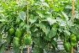 PC板温室建设厂家浅谈蔬菜大棚建设的技术要点