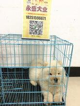 家养的纯种松狮幼犬出售奶白色面包嘴图片