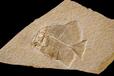 化石真的?#30331;?#21527;