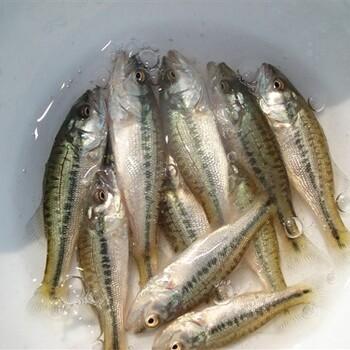 品质好的加州鲈鱼苗供
