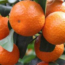 生態寶砂糖橘圖片
