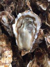 鲜活生蚝多少钱一斤,乳山牡蛎产地直发