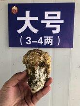 乳山牡蛎招代理,海蛎子一件代发,厂家直供