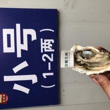 福州生蚝批发市场,乳山牡蛎,产地直供价格