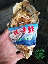 乳山生?#21512;?#27963;乳山牡蛎带壳海蛎子产地批发
