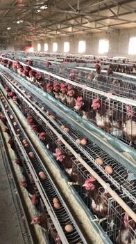 鸡笼子厂家生产蛋鸡笼全自动热镀锌蛋鸡笼