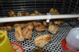 廠家直銷雞籠子立式育雛籠雛雞籠全自動養殖設備大量批發生產