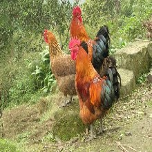 正宗土鸡纯天然土鸡生态土鸡散养土鸡月子鸡