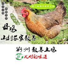 正宗土鸡散养土鸡月子鸡生态鸡
