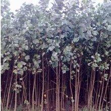 供甘肃白杨树苗木和兰州苗木种植基地