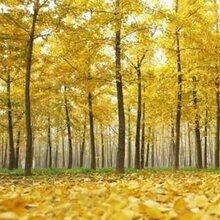 供甘肃苗木和陇南银杏树苗木价格