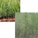 供甘肅白楊樹苗木和隴南塔柏苗木供應商