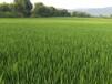 东北大米的生长环境、东北大米的鉴别、东北大米的特点