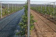 厂家供应抗老化防草布农用果园果树园艺地钉大棚抑草布