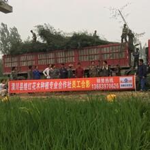 淮北6米高刚竹继红花木性价比高图片