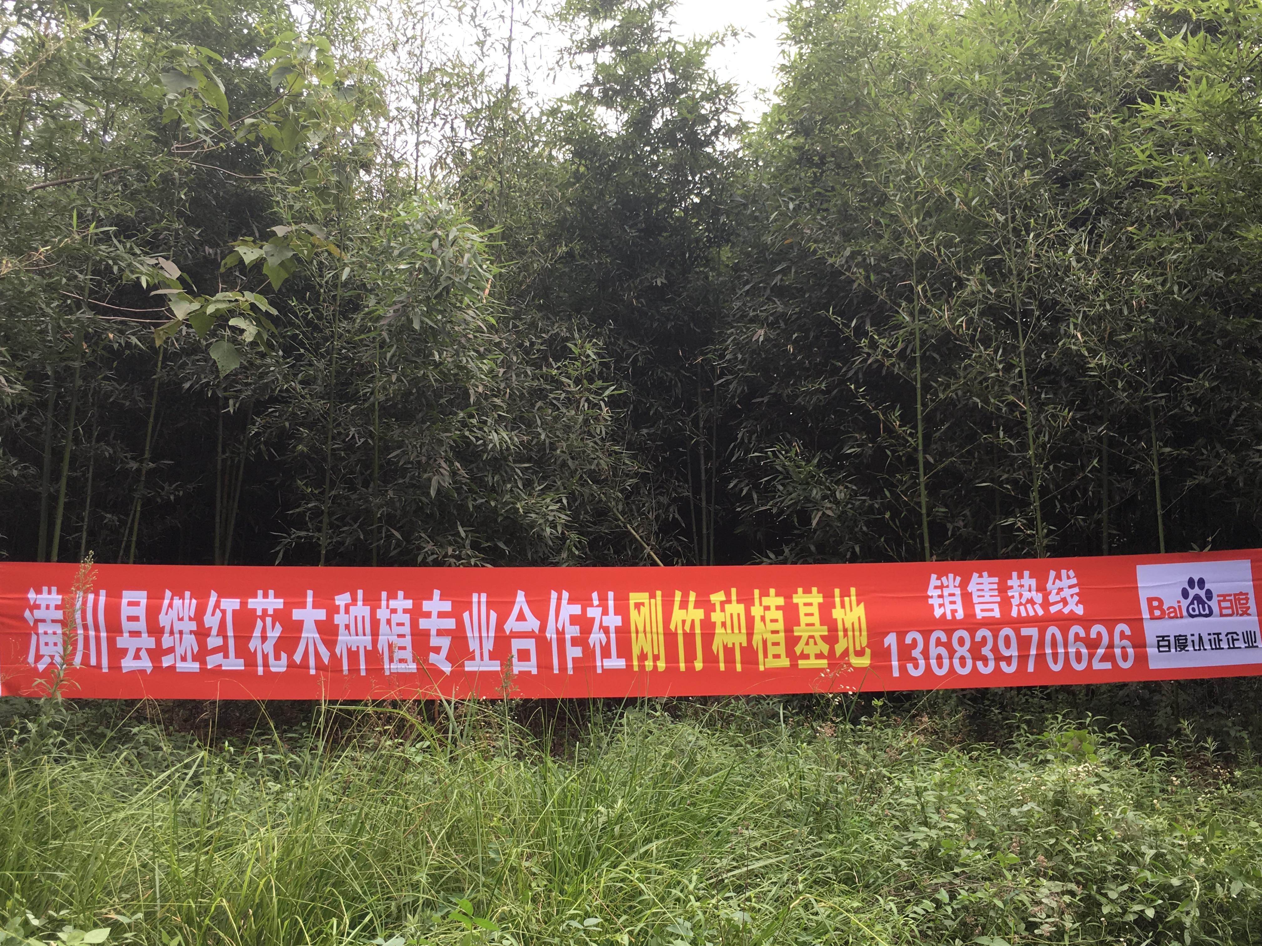 海淀4米高刚竹继红花木信用保证