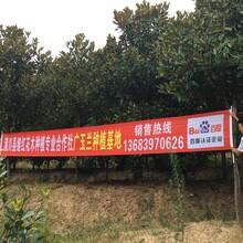 广玉兰种植基地河南广玉兰直销批发图片