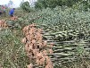 咸阳4公分刚竹种殖基地
