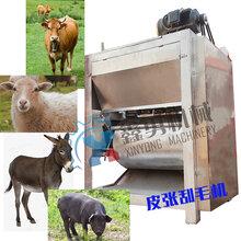 黑龙江地区羊皮退毛机供货铭富机械羊皮刮毛机净毛率高不伤皮图片