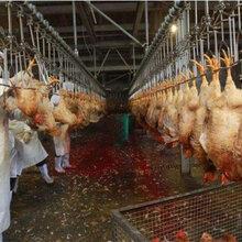 安徽鸡屠宰流水线的使用屠宰流水线设备图片